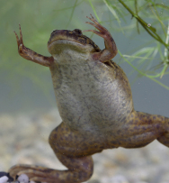 The African clawed frog